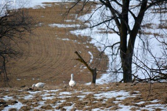 geese_0886ews