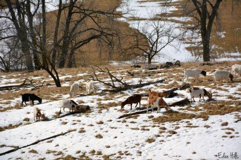 Goat Pasture_0950ews