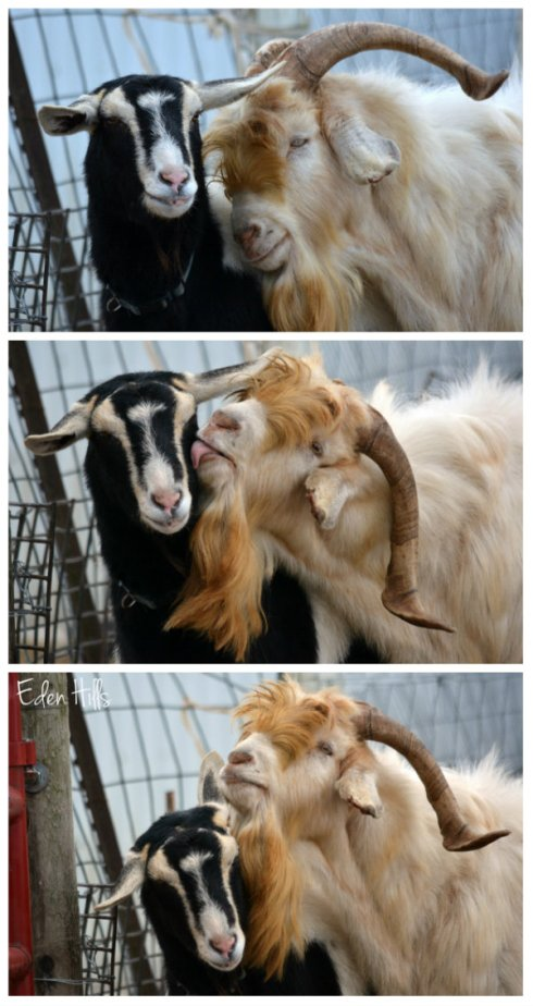 goats in love collage