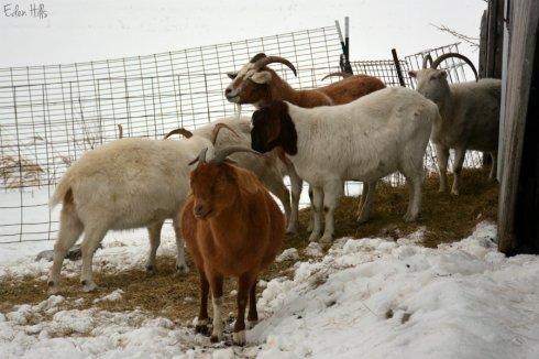 Goats_9787ew