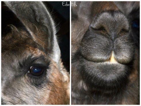 llama collage2