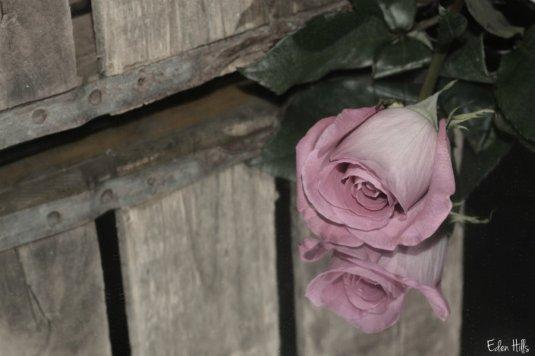 Rose Reflect_9878ews