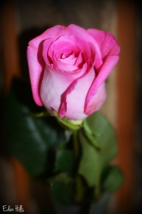 rose_9869ews