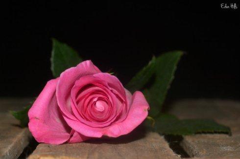Rose_9883ews