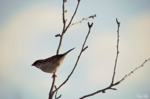 sparrow_0772ews