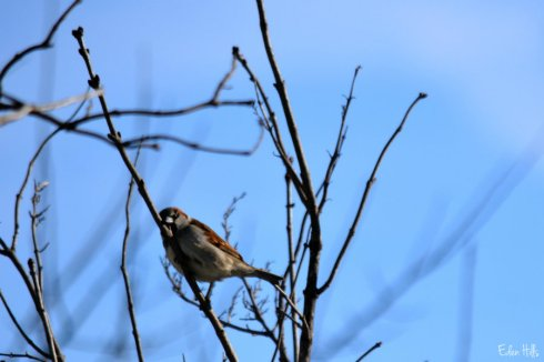 sparrow_0776ews