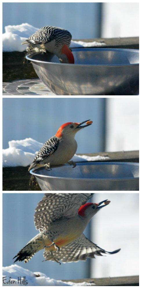 woodpecker collage ew