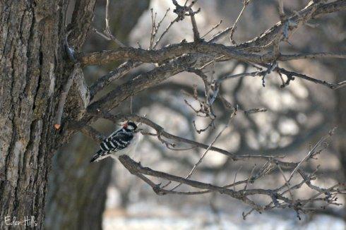 woodpecker_0334ews