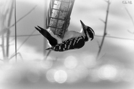 Woodpecker_9688e2ws