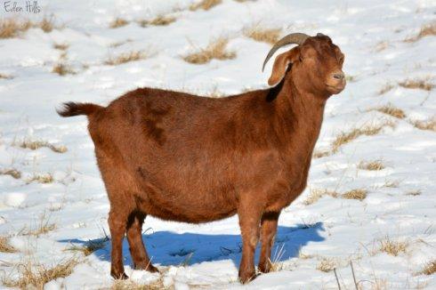Basking Goat_1469ews