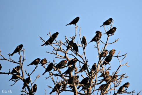 blackbirds_2076ews