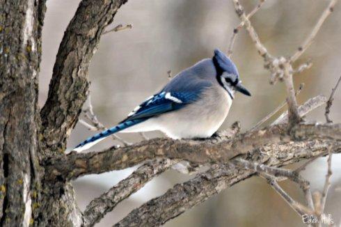 Blue Jay_1619ews