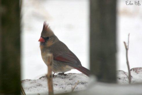 Cardinal_1147ews