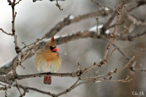Cardinal_1587ews