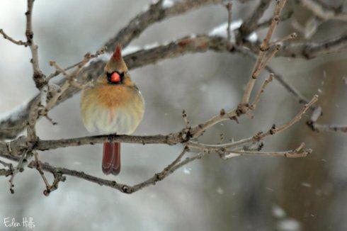 Cardinal_1588ew