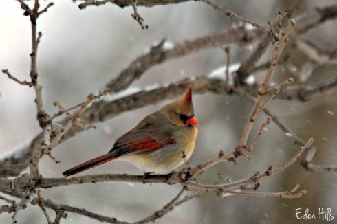 Cardinal_1592ews