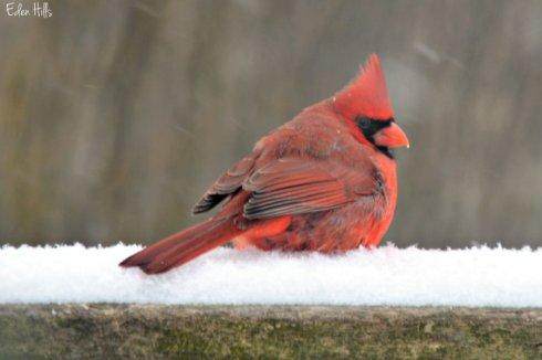 Cardinal_1594ews