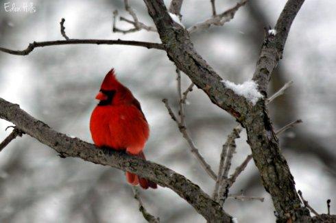 Cardinal_1598ews