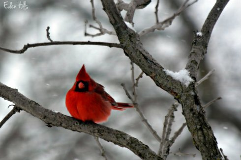 Cardinal_1602ews