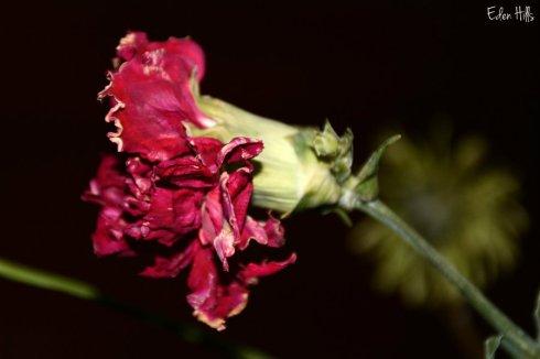 carnation_1900ews