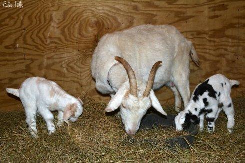 Doe goat and kids_1129ews