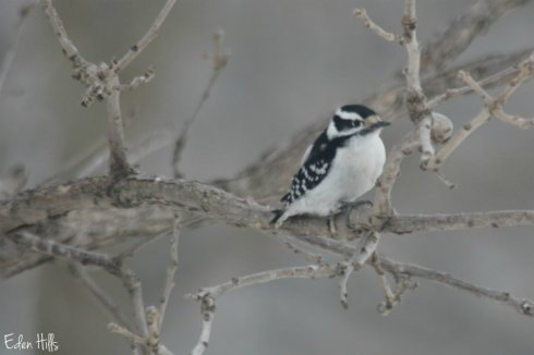 Downy Woodpecker_1132aws