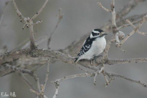 Downy Woodpecker_1132aws