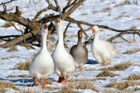 Geese_1454ews