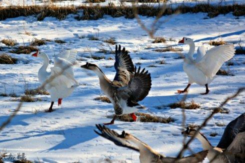 Geese_1487ews
