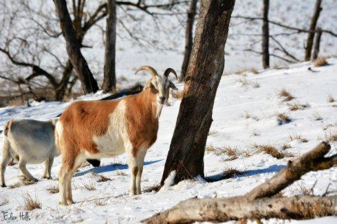 Goat eye shade_1388ews