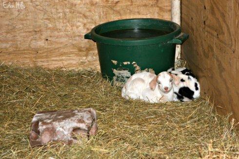 goat kids_1684ews