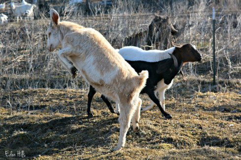 goats playing_2082ews