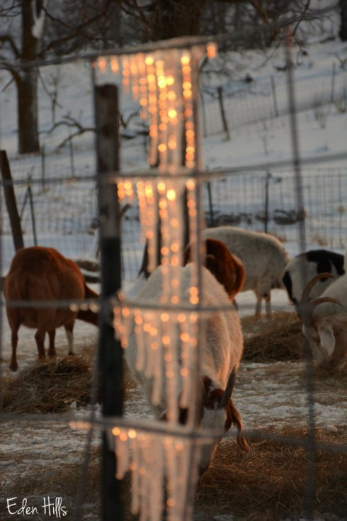 icicle goats_1051ews