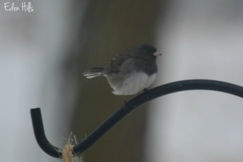 junco_1196aws