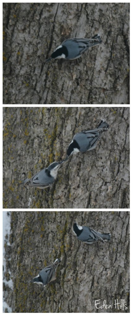 nuthatch collage aw