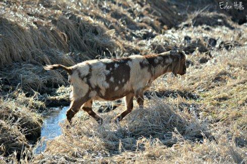 Pregnant doe_2199ews