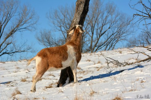 Wether goat_1404ews