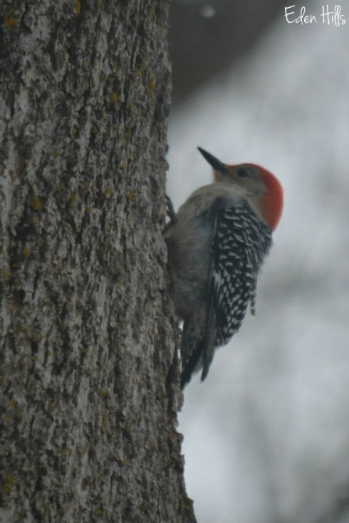 woodpecker_1755ews