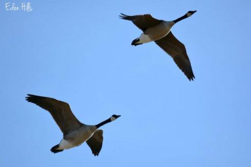 Canada Geese_2384ews