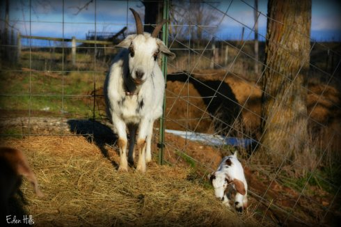 Doe Goat and kid_4137ews