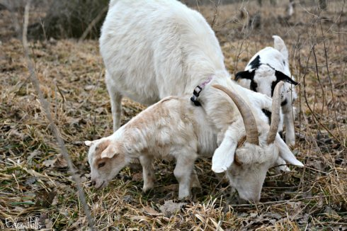 Doe goat and kids_2717ews