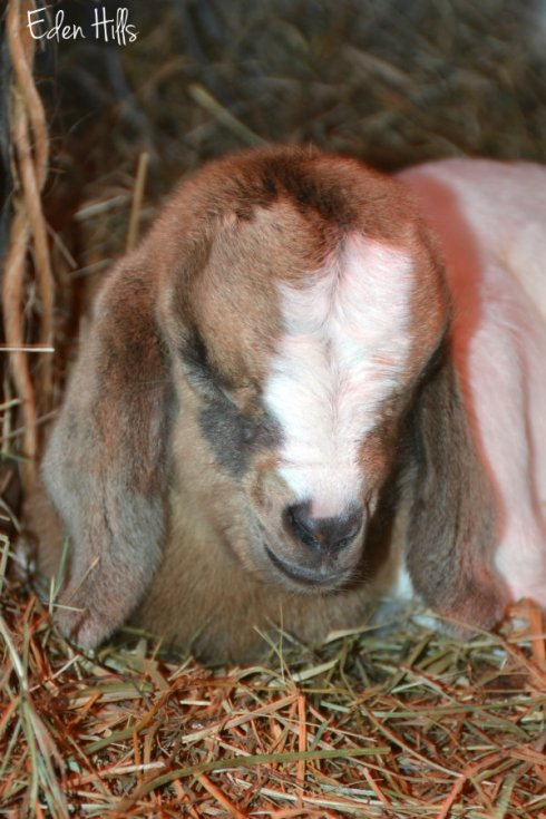 Doeling goat_3965ews