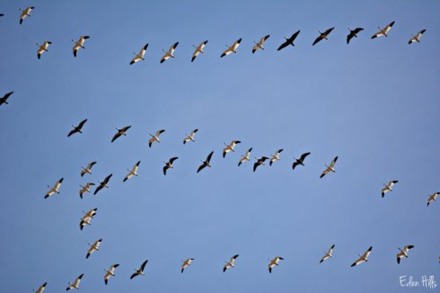 Geese Formation_2393ews