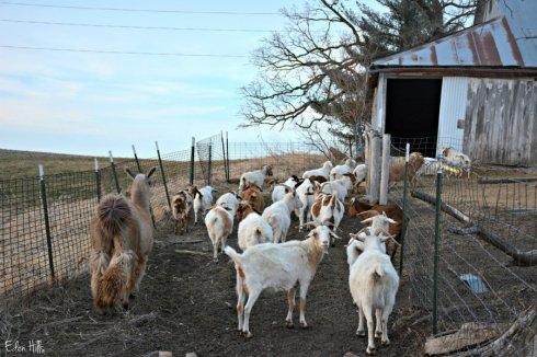 goat lane_3091ews