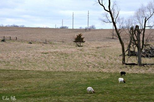goat pasture_3952ews