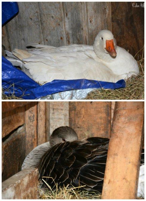 goose collage