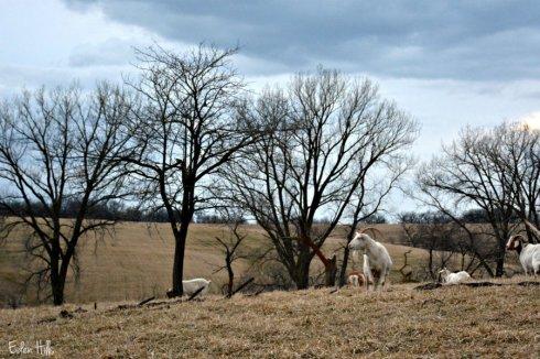 herd queen_3222ews