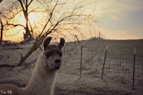 llama sunset_3088ews