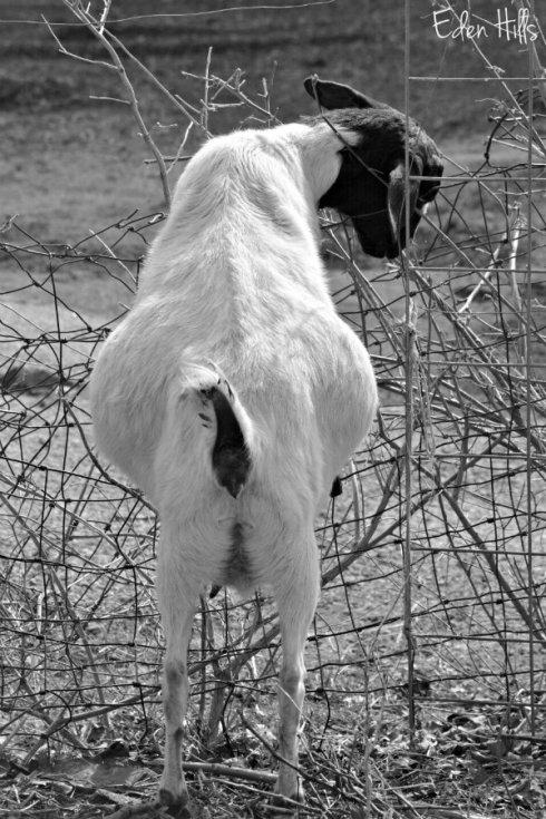 pregnant doe goat_2872ews