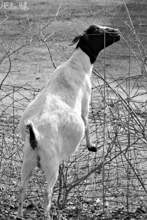 Pregnant Doe Goat_2874ews